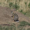 African Hare in the Serengeti