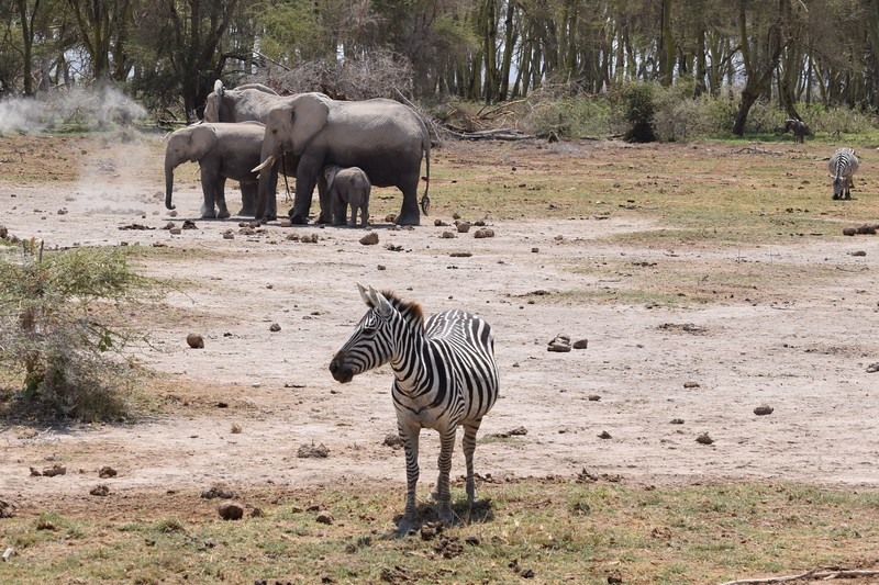 "Zebra & Elephant herd ""dusting"" themselves at Amboseli"