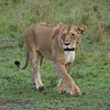 Lioness - Does all the work for the lazy king of the jungle