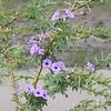 Thorny Acacia