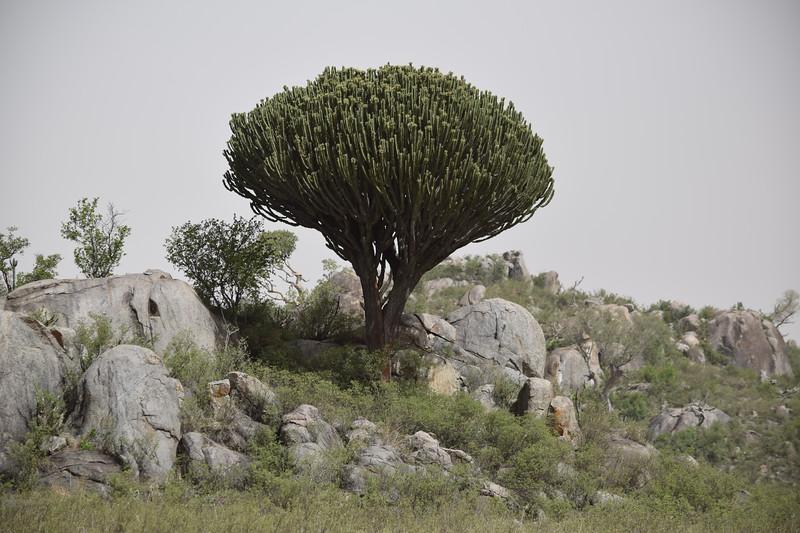 Candelabra tree on the Serengeti