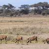 Warthogs at Amboseli