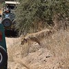 Lion ignoring the safari trucks and the people inside