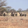 Elephant Herd in Tarangire Park