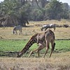 Giraffe drinking at Amboseli water hole