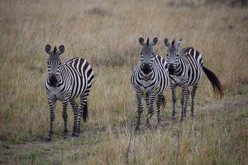 The Stripes make the Zebra invisible to the compound eye of the Tsetse fly. The sickness carried by the flies is deadly to horses and zebras