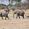 Elephant herd with newborn Elephant
