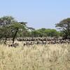 Wildebeest herd in the Serengeti