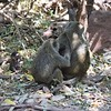 Grooming Baboons with Baby in Lake Manyara Park