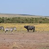 Zebras and Cape Buffalos