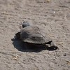 Terrapin Tortious