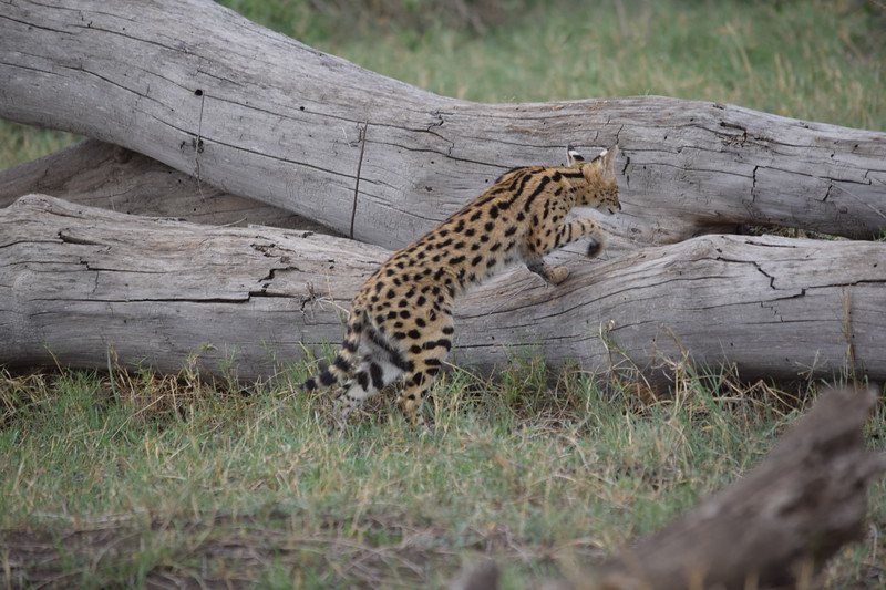 Serval Cat in the Serengeti