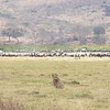 Lion hunting by Zebra and Wildebeest herd in Ngorongoro Crater
