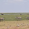 Zebra line at Amboseli water hole
