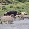 Hippos and baby Hippo