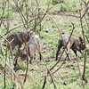 Warthog pups in the Serengeti