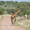 Giraffe running in the Serengeti