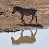 Zebra and its reflection