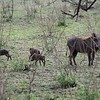 Warthag and pups in the Serengeti