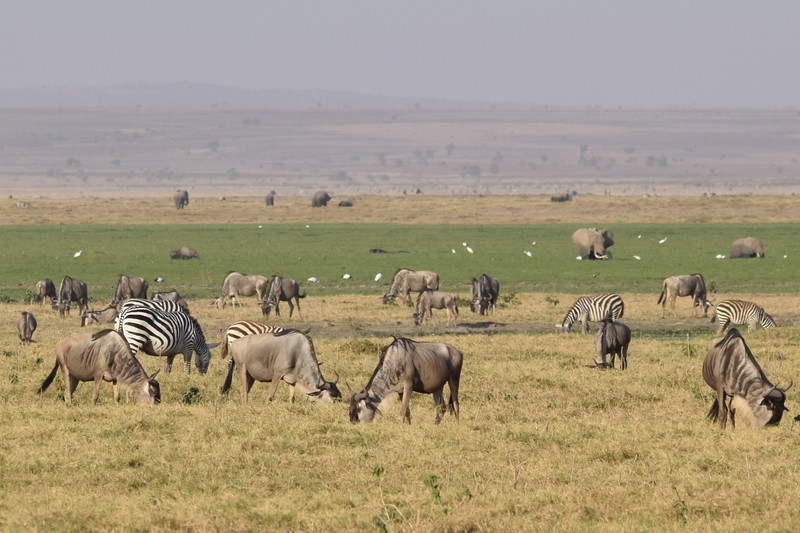 Wildebeest and Zebra Herd at Amboseli with Elephants in water hole