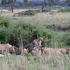 Lion pride eating Cape Buffalo - Cub as king of the hill