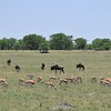 Wildebeest and Thomson Gazelles in the Serengeti
