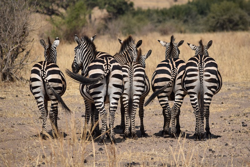 Zebra butts in a row