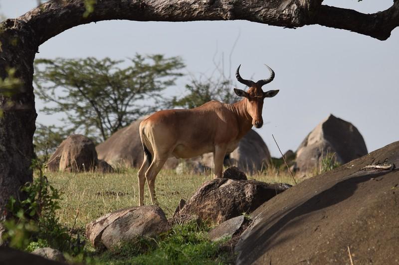 Haet Beast in the Serengeti