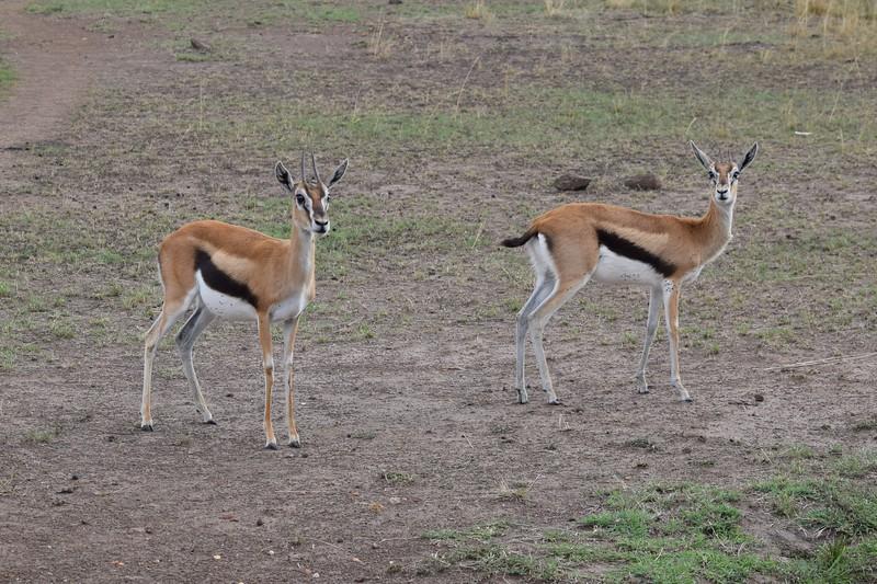 Thomson gazelles