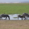Zebras at Amboseli water hole
