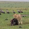 Lion having breakfast