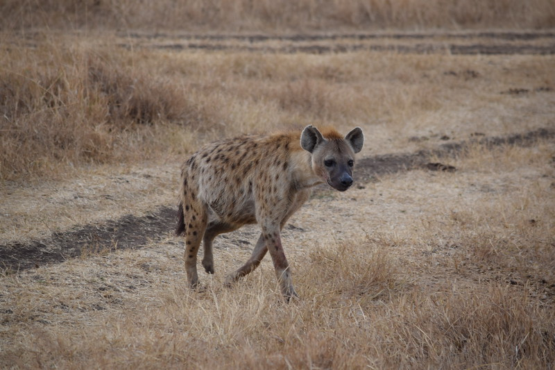 Spotted Hyena in Ngorongoro Crater