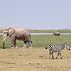 Elephants and Zebra at Amboseli water hole