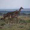 Giraffes - Love Tap