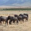 Wildebeest herd in Ngorongoro Crater