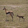 Thomson gazelle and calf