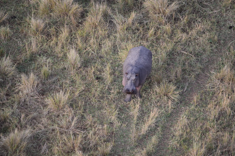 Wandering Hippo from the balloon