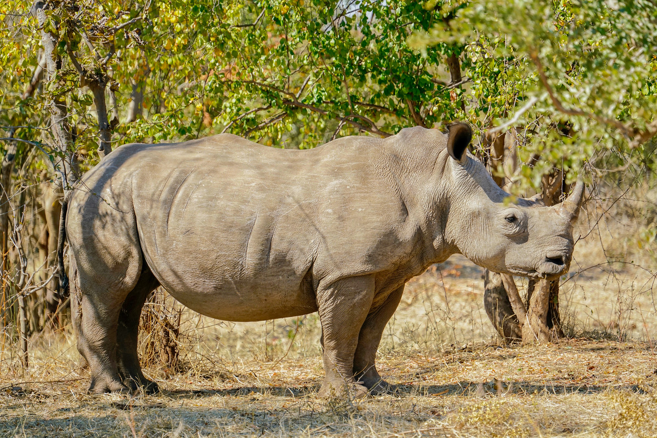 On the Defense: Zambian Southern White Rhino