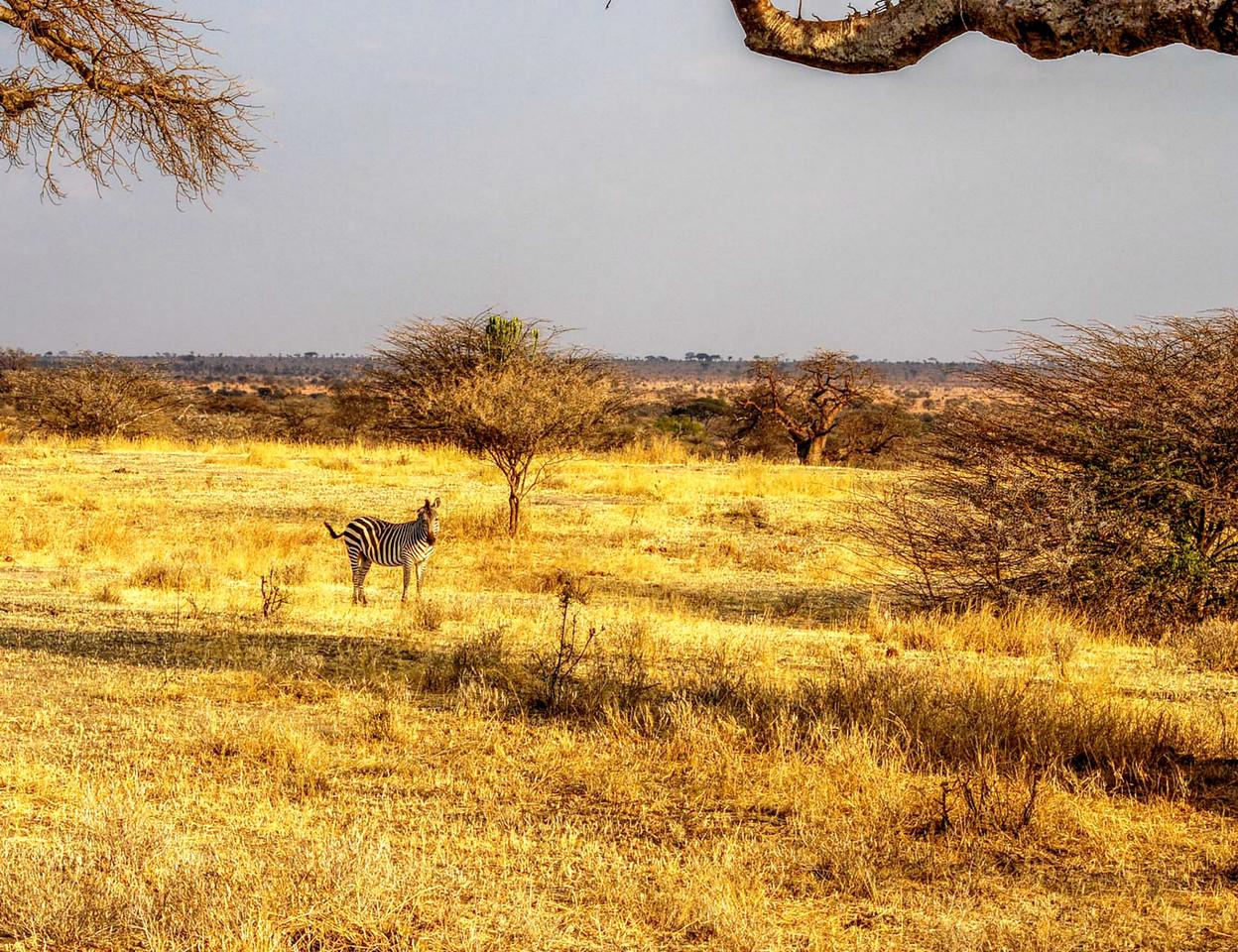 Zebra in the Landscape