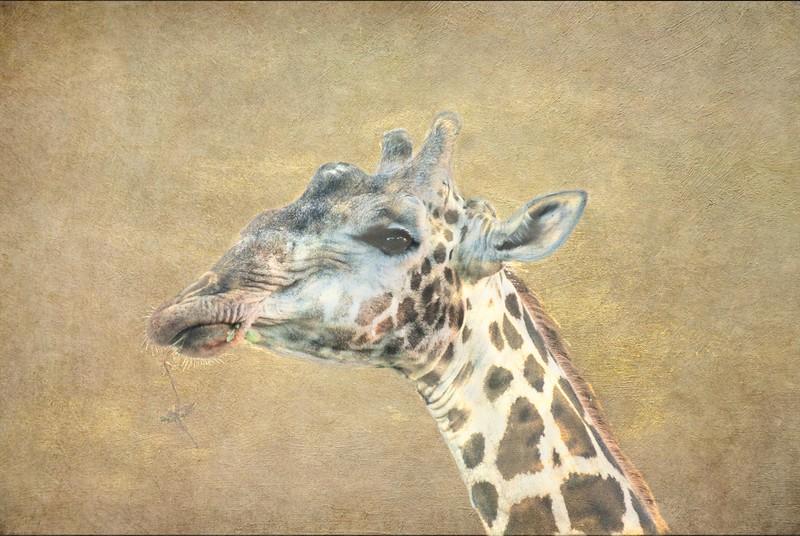 Giraffe on Texture