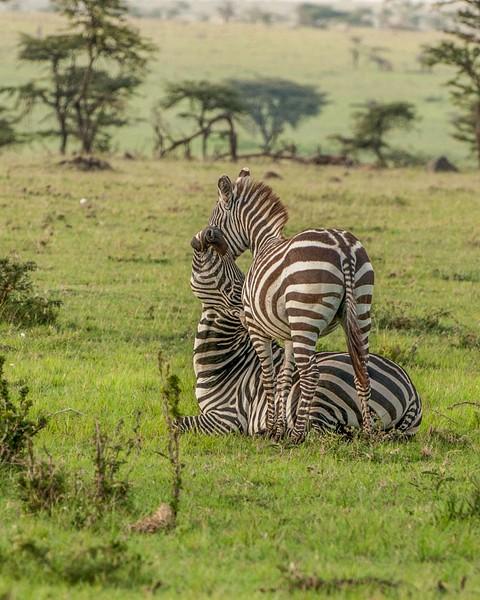 Two Zebra
