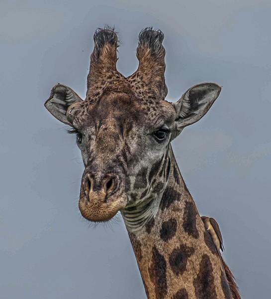 Giraffe Against the Sky