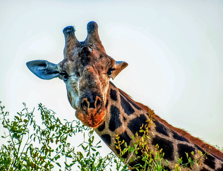 Here's looking at ya!  Male giraffe in Botswana.  These animals are so stately.