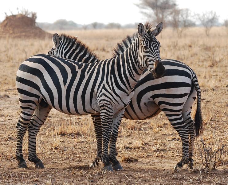 Zebra, tanangire