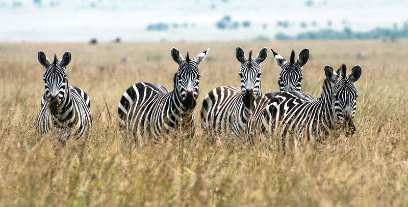 Zebra in Kenya during the Great Migration