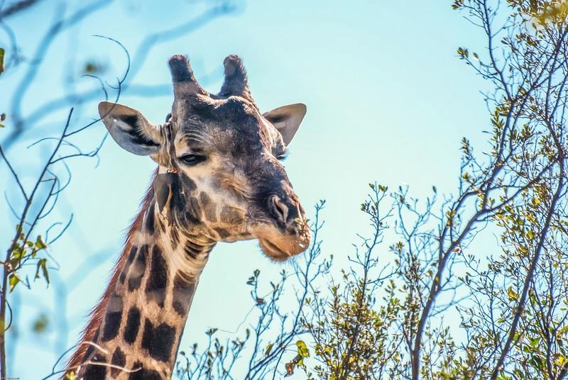 Giraffe with Ox-Pecker