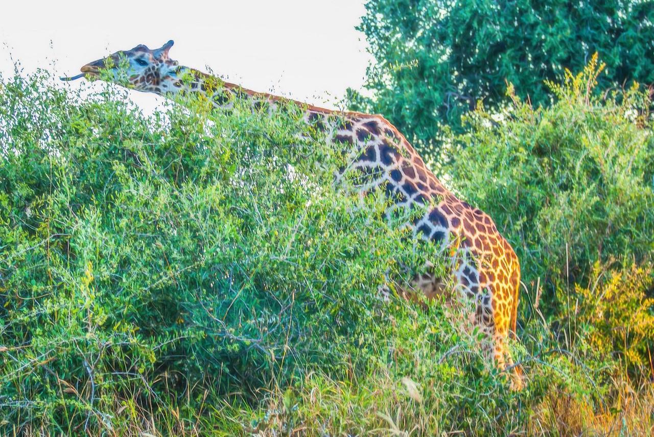 Giraffe Stretcjing to Get the Best Morsel