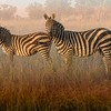Zebras in Haze