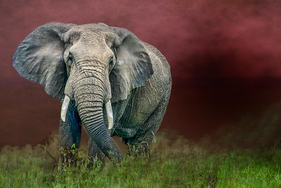 Elephant  in the Red
