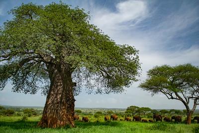 BaoBoa Tree